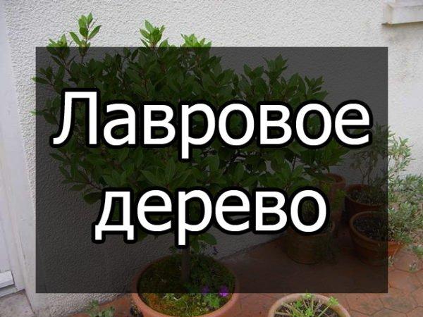 лавровое дерево, уход в домашних условиях