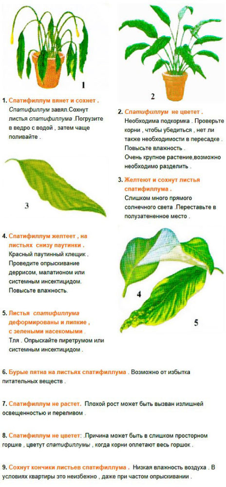 таблица ухода за спатифиллумом