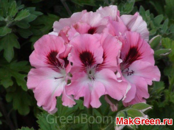 цветы герани нежные