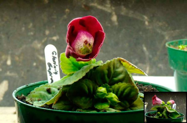 начало цветения глоксидии