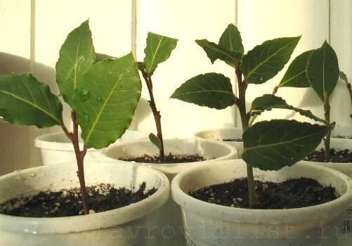 размножение деревцев