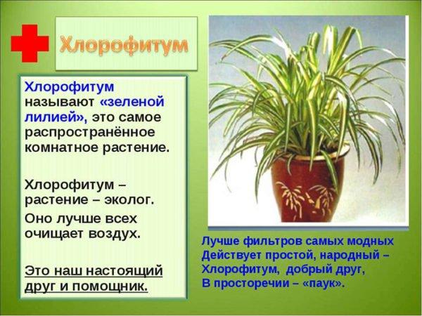 полезные свойства хлорофитума