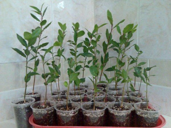 Лавр уход и выращивание в саду 22