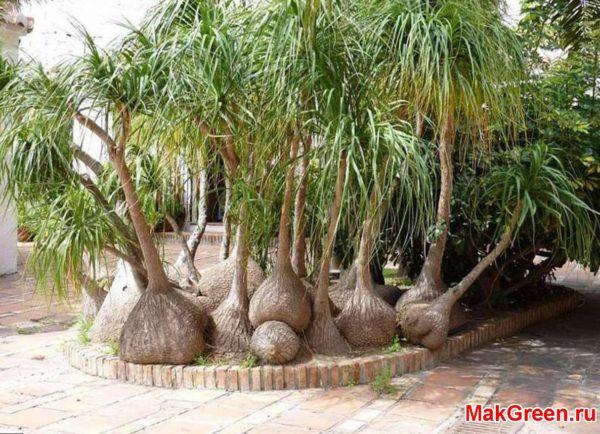 Огромное дерево нолина