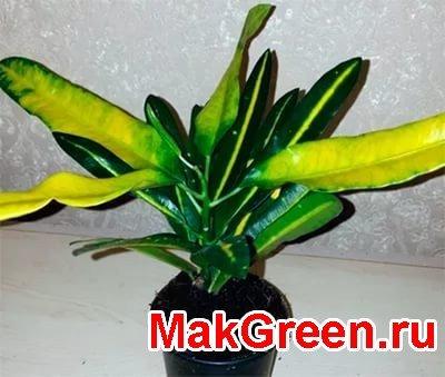 зелено - желтые листья