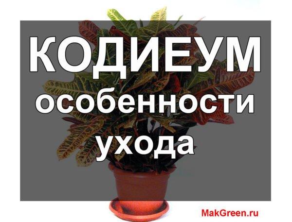 Кодиеум особенности ухода за растением