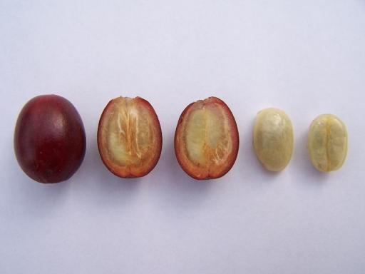 зерно кофейного дерева