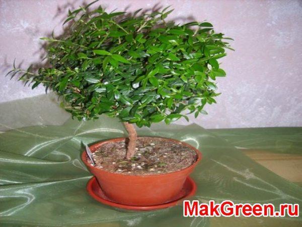 миртовое дерево фото