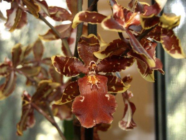 фото в домашних условиях орхидеи камбрии