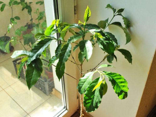 пересадка дерева из кофе