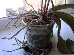 такую орхидею нужно пересаживать