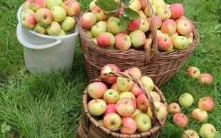 Известные сорта яблок — на любой вкус и цвет