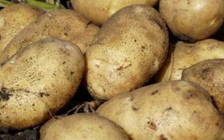 Картофель санте: описание сорта с фото и отзывами
