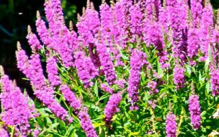 Дербенник : выращиваем в домашних условиях, полив, пересадка и особенности почвы