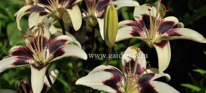 Выращивание и уход за лилиями до и после цветения