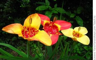 Тигридия : выращиваем в домашних условиях, полив, пересадка и особенности почвы