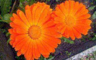 Календула : выращиваем в домашних условиях, полив, пересадка и особенности почвы