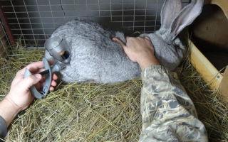 Основные прививки и вакцинация кроликам