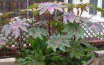 Клещевина : выращиваем в домашних условиях, полив, пересадка и особенности почвы