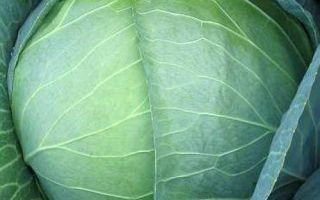 Характеристика сорта капусты мегатон — правила выращивания и ухода