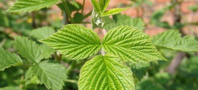 Применение листьев малины в народной медицине