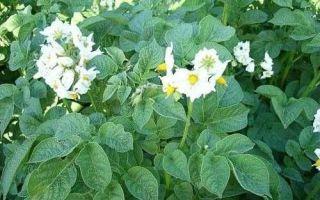 Сорт картофеля адретта — описание вида, уход, особенности агротехники