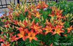 Лилии садовые: разновидности, посадка и уход