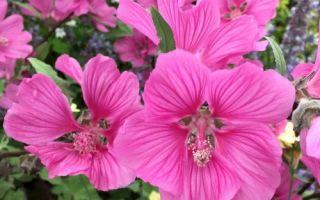 Лаватера : выращиваем в домашних условиях, полив, пересадка и особенности почвы
