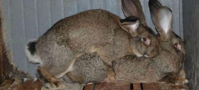 Случка кроликов – все способы достижения отличных результатов в кролиководстве