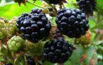 Черная малина — чем хорош сорт кумберленд и как его вырастить?