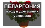 Пеларгония — уход за растением дома