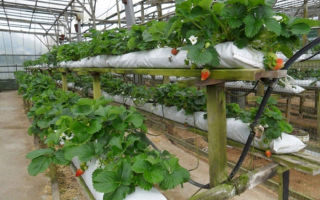 Насколько эффективно выращивание клубники в полиэтиленовых мешках