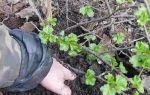 Размножение крыжовника черенками и отводками — пошаговая инструкция