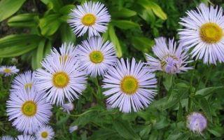 Эригерон (мелколепестник) : выращиваем в домашних условиях, полив, пересадка и особенности почвы