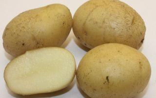 Картофель голубизна: описание сорта с фото и отзывами