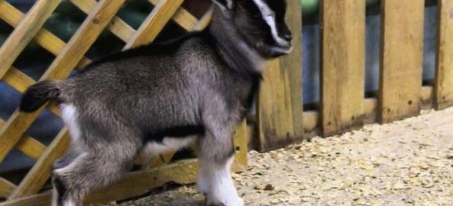 Содержание коз в домашних условиях: постройка козлятника, кормушки, как ухаживать за ними