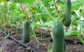 Сорта огурцов для урала, в том числе самоопыляемые: посадка и выращивание в теплицах и в открытом грунте