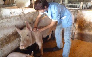 Убой свиней или как правильно зарезать свинью по технологии и разделать тушу
