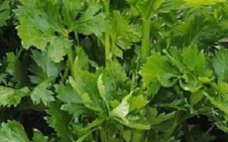 Выращивание сельдерея по инструкции — черешкового и листового