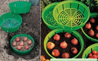 Осенняя посадка тюльпанов в корзины — технология, правила выращивания и ухода