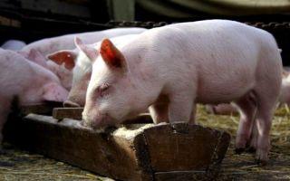 Откорм свиней в домашних условиях: комбикорм, премиксы, кормовые добавки, рацион