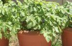 Как вырастить картофель из семян в домашних условиях: посадка на подоконнике и балконе, посев дома семенами, технологии для мини-клубней