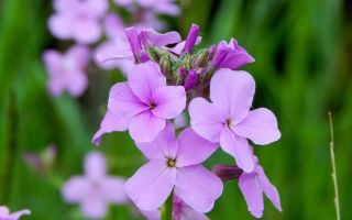Вечерница : выращиваем в домашних условиях, полив, пересадка и особенности почвы