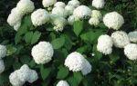Лучшие сорта гортензии метельчатой для выращивания в Подмосковье