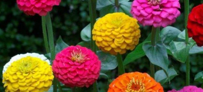 Циния : выращиваем в домашних условиях, полив, пересадка и особенности почвы