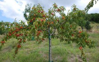 Подготовка персика к зиме с внесением удобрений и обработкой стволов + видео