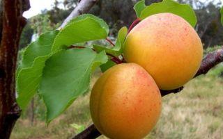 Как болезни абрикоса оказывают влияние на его способность плодоносить?