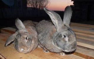 Наиболее распространенные болезни кроликов: миксоматоз, кокцидиоз, ушной клещ и др.