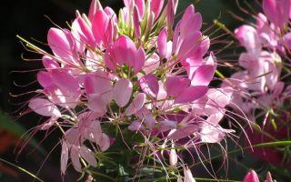 Клеома колючая : выращиваем в домашних условиях, полив, пересадка и особенности почвы