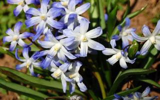 Хионодокса : выращиваем в домашних условиях, полив, пересадка и особенности почвы